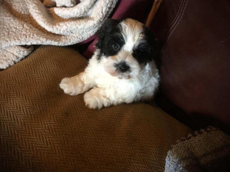Blue Ridge Bichons and Havanese - Available Havachon Puppies